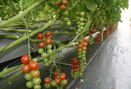 甲州ワインビーフ 小林牧場 甲斐市 赤坂農場 赤坂とまと トマト